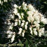 Echium leucophaeum