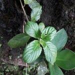 Crantzia cristata 葉