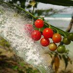 Solanum racemosum