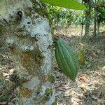 Theobroma cacao Plod