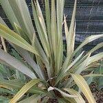 Phormium tenax 葉