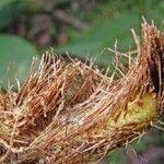 Polybotrya osmundacea