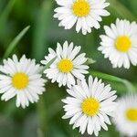 Bellis perennis Flower