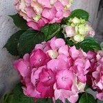 Hydrangea macrophylla Flor