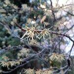 Hamamelis virginiana Flower