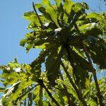 Ficus pseudopalma