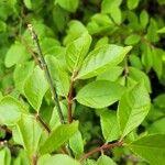Euonymus alatus List