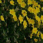 Helianthemum lunulatum