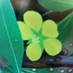 Ludwigia peploides