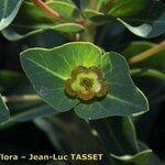 Euphorbia isatidifolia