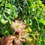 Albizia lebbeck Fiore