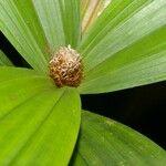 Guatteria amplifolia