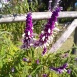 Salvia leucantha പുഷ്പം