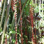 Heliconia longissima