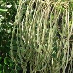Sophora tomentosa Fruit