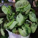 Syngonium podophyllum Blatt