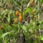 Elleanthus hymenophorus