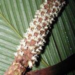 Pholidostachys pulchra