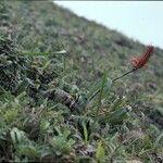 Pitcairnia spicata