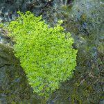 Callitriche heterophylla