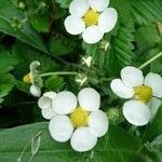 Fragaria moschata