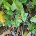 Lysimachia arvensis 花