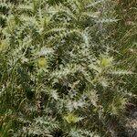 Cirsium chrysacanthum