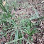 Cyperus laxus