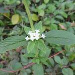 Spermacoce latifolia