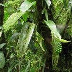 Anthurium pittieri
