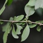 Pisonia silvatica
