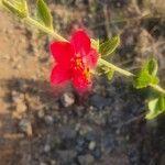 Hibiscus aponeurus
