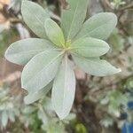 Conocarpus erectus Hoja