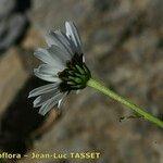 Leucanthemum coronopifolium