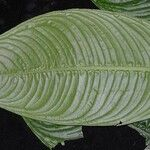 Dieffenbachia beachiana