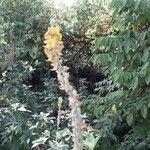 Crotalaria pallida Flower