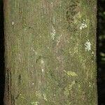 Oenocarpus bacaba