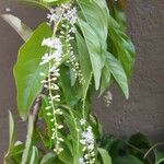 Citharexylum spinosum 花