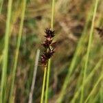 Carex appropinquata
