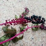Phytolacca americana Fruit