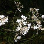 Fridericia florida