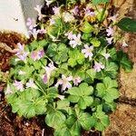 Oxalis debilis Flower