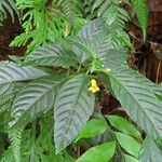 Besleria filipes