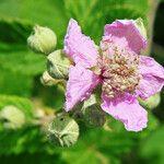 Rubus sanctus