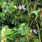 Dendrobium victoriae-reginae Hábito