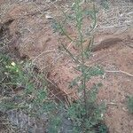 Cleome viscosa Leaf