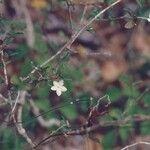 Pseuderanthemum incisum