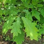 Quercus rubra Lehti