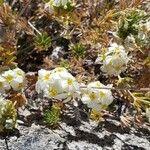 Zinnia acerosa Blomma