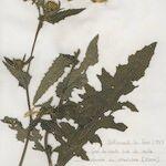 Cirsium x hybridum